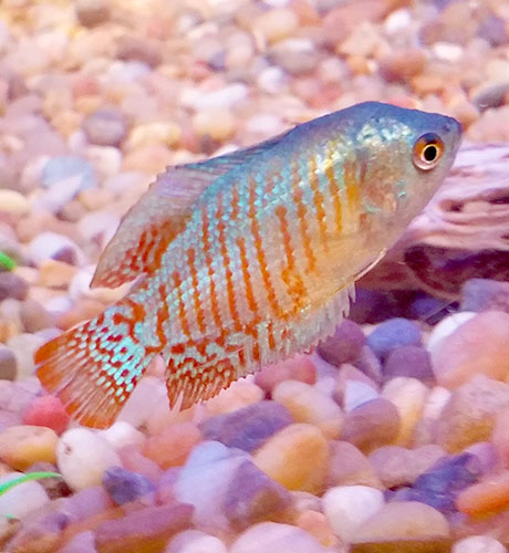 Blue-and-Orange-Gourami