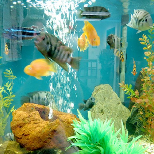 Cichlids-and-Parrot-fish-aquarium