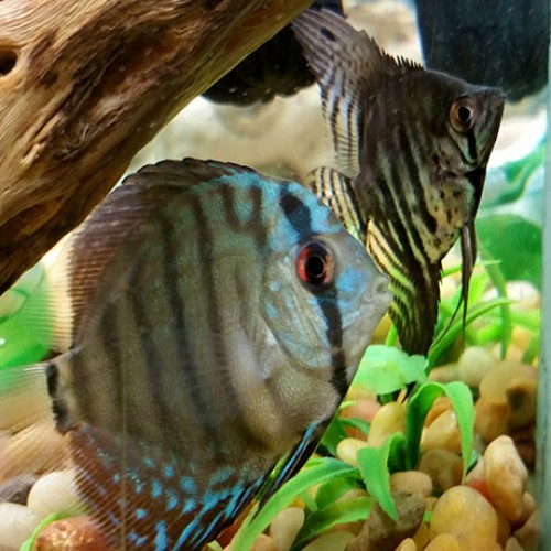 Discus-and-angelfish-aquarium