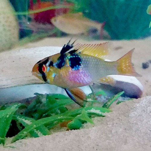 German-Blue-Ram-aquarium