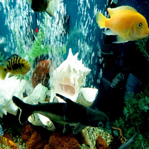Irridecent-Shark-and-African-Cichlids-aquarium