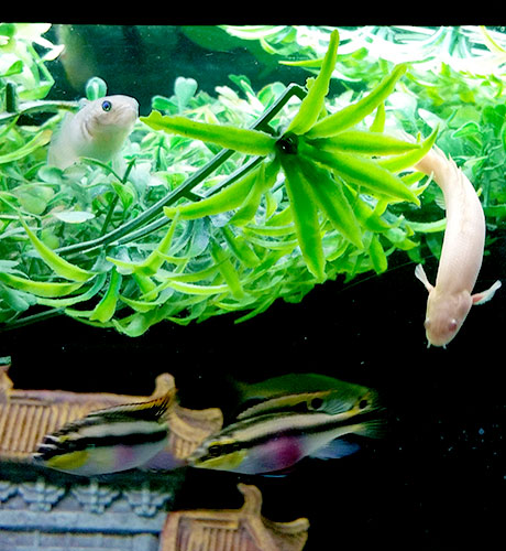 Knight-Goby-Bicher-and-Kribensis-aquarium