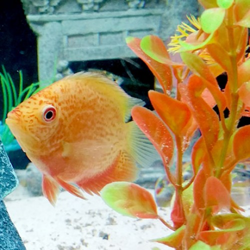 Red-Spotted-Severum-aquarium
