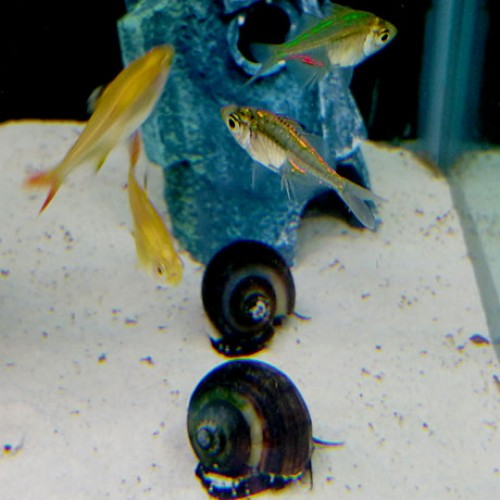 Tetras-Snails-and-Painted-Glass-Fish