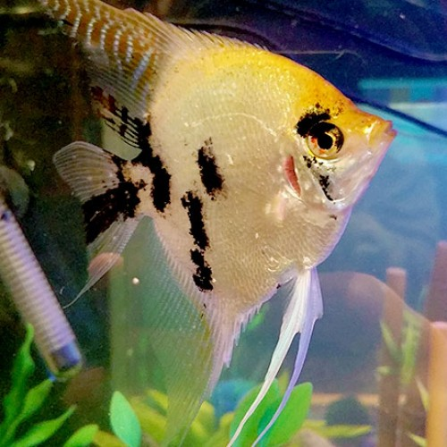 large-angelfish-closeup